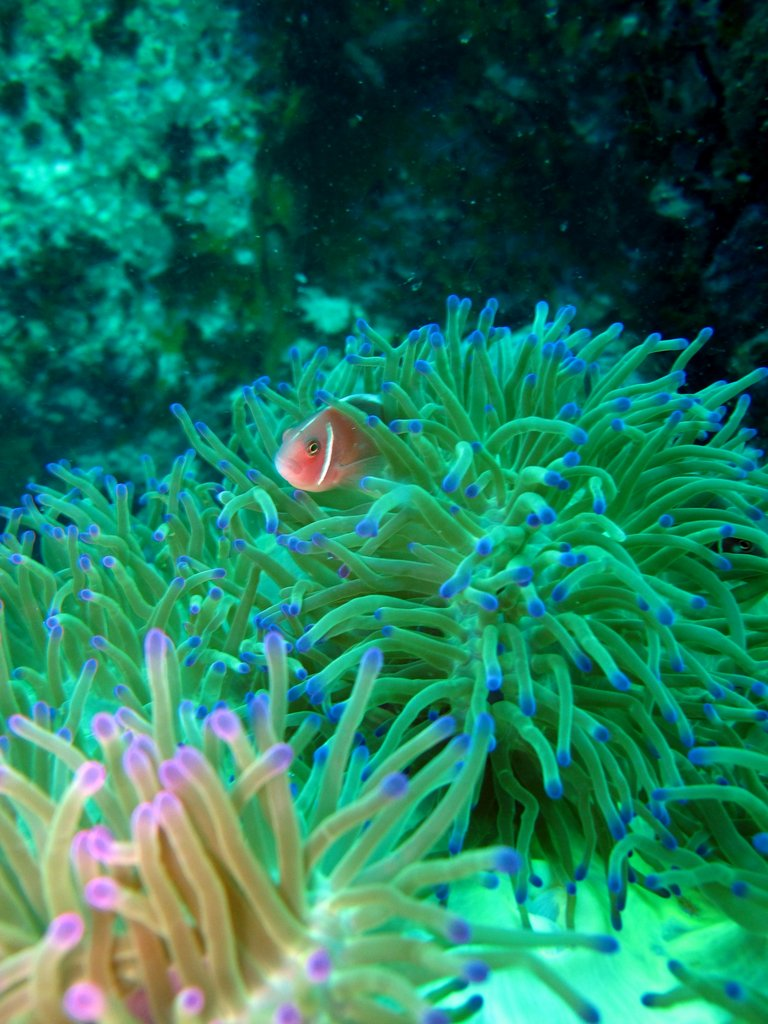 Anemone and a clown fish