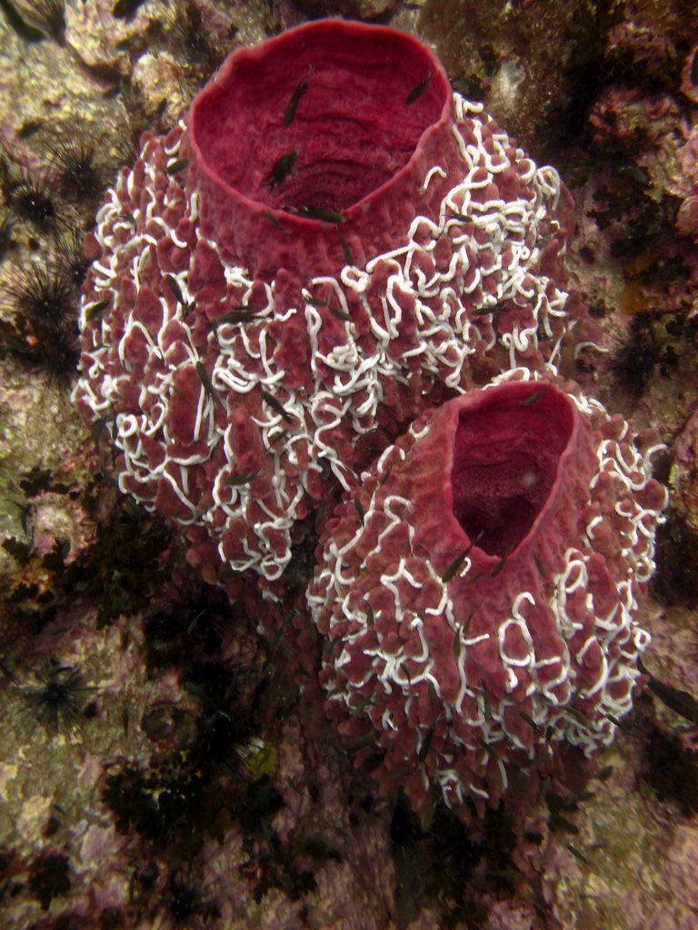 Barrel coral with worms
