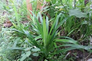 Pandanus plant