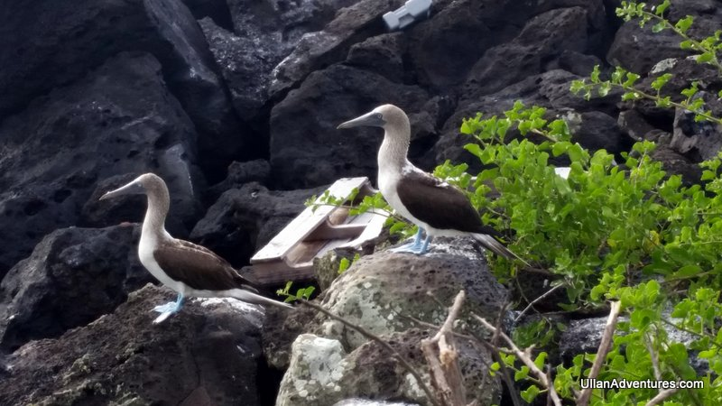 Blue-footed Boobies!