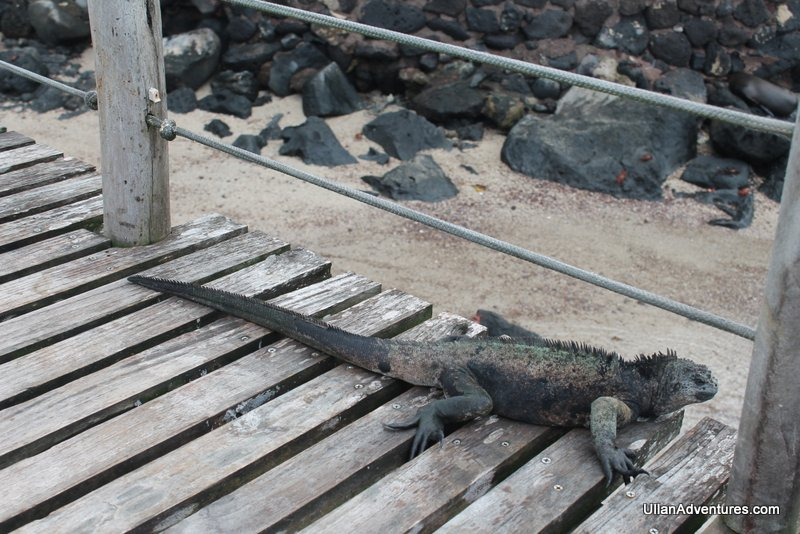 Big ole marine iguana just hanging out.
